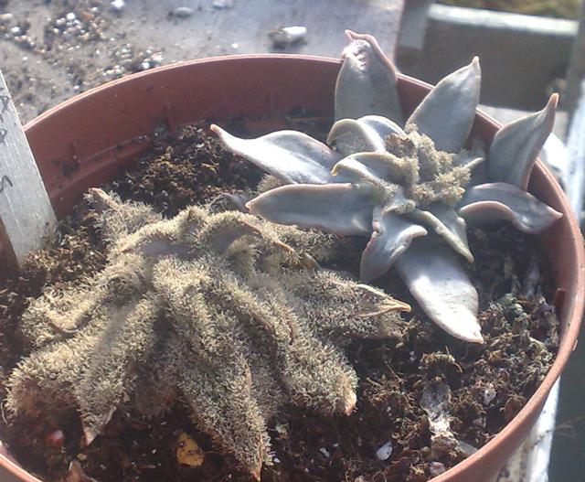 Cactus Nursery Botrytis On Succulents