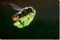 Details on Leaf Cutter Bee