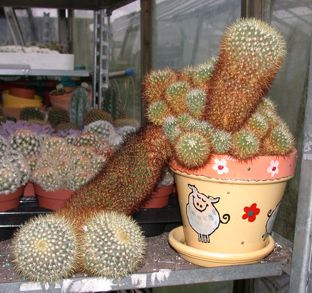 This mammillaria might like a new pot